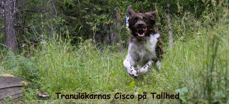 Tranulökarnas Cisco